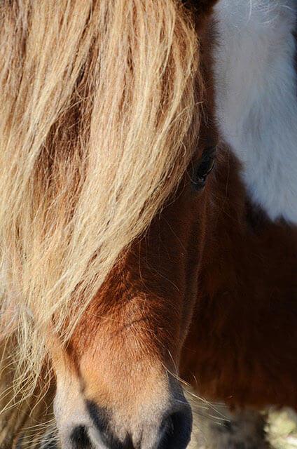 Paint Miniature Horse