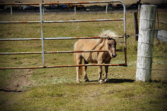 Palomino Miniature Horse