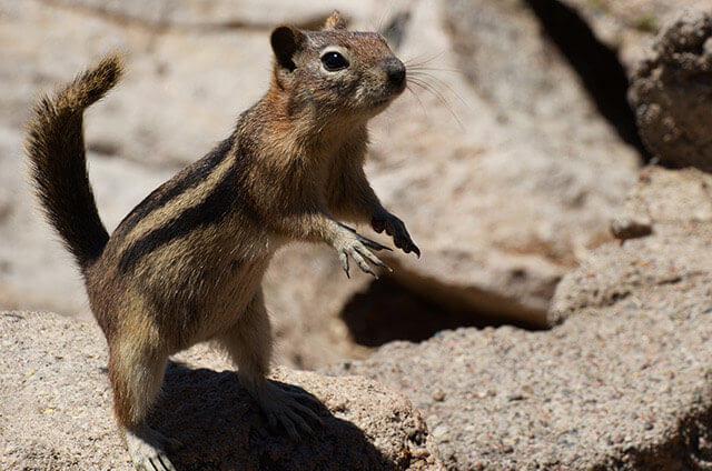 Rocky Mountain Chipmunk
