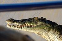 Darwin Australia Wild Crocodile