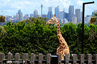 Giraffe at Sydney Zoo