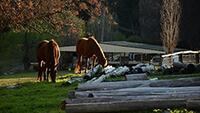 Horses on Farm in Australia
