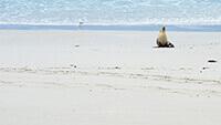 Kangaroo Island Sea Lion