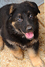 Male German Shepherd Puppy