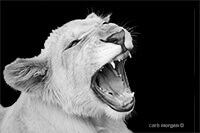 White Lion Cub Yawning by Carrie Morgan