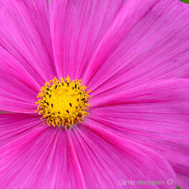 Pink Cosmos Flower New Zealand by Carrie Morgan
