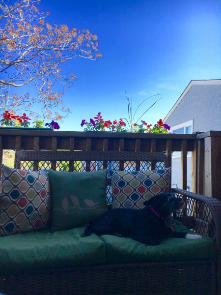 This is a picture of Harper, our camera-shy terrier rescue dog, chilling on the back deck.