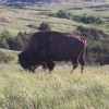Photo of a buffalo not to far from my mom's and step-dad's place.