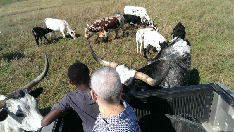 Feeding the novelty longhorn from the back of a truck with Shaila's mom.