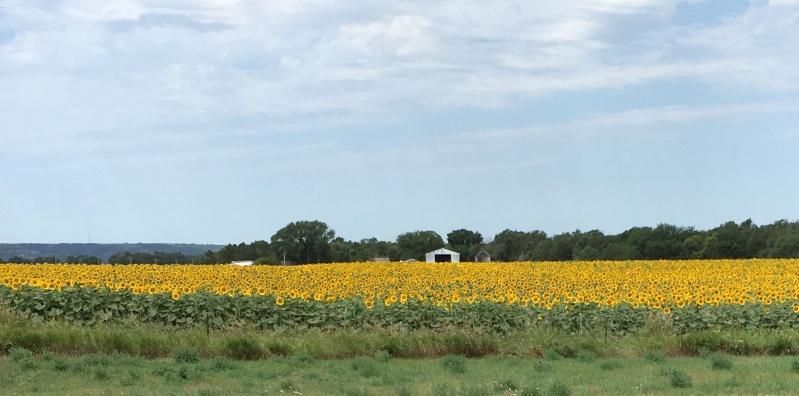 South Dakota sunflower field.