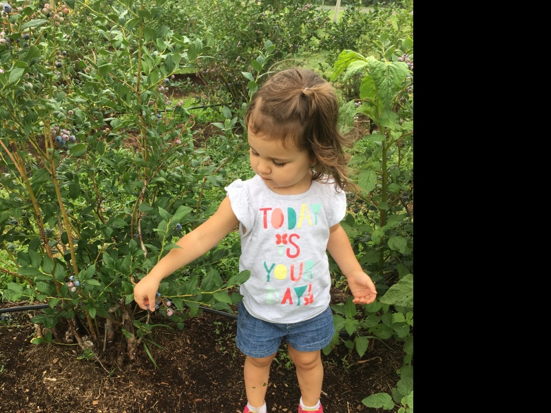 Blueberry picking at a farm