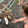 Feeding the goats on the farm