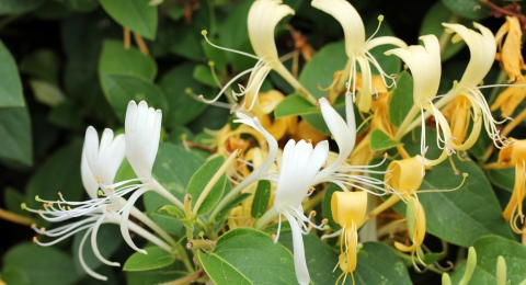 Brew Some Honeysuckle Tea To Fight The Flu