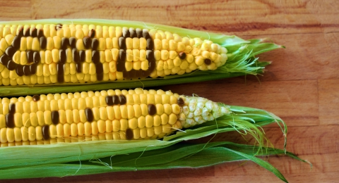 The Sick Story of Genetically Modified Organisms