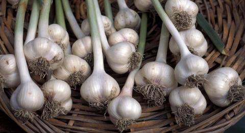 0-588422853-garlic