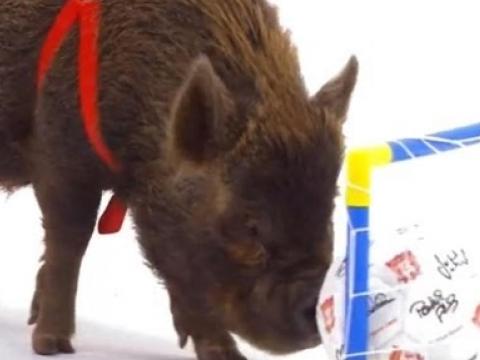Smart Pigs vs Kids – Extraordinary Animals