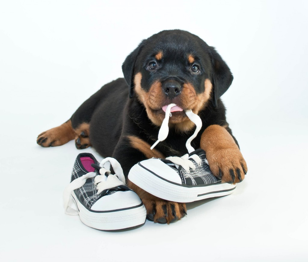 Silly Rottweiler puppy chewing on a pair of new shoes making a silly face, on a white background.