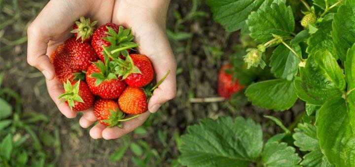 hands-strawberries