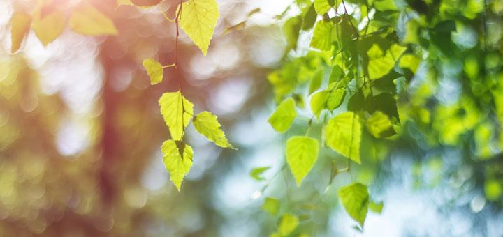 birch-leaves