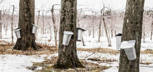tapping-maple-trees