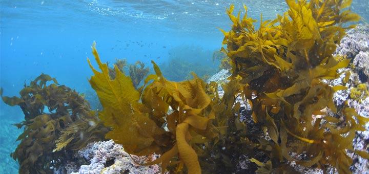 Seetang-unter Wasser