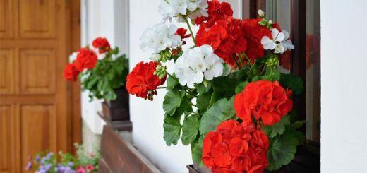 gernanium-flowers