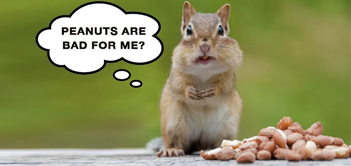 squirrel-peanuts-bad-for-me