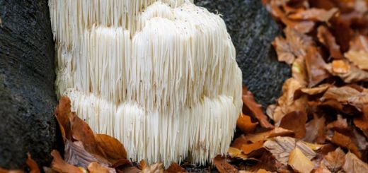 Lion's Mane Mushroom Boosts Memory, Focus, Mood, And More