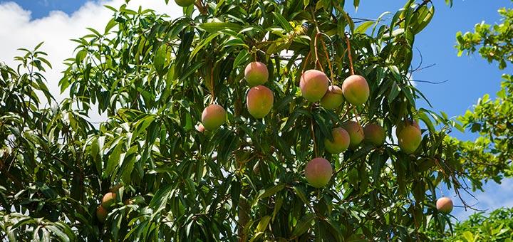 6 Amazing Health Benefits Of Mango Leaves