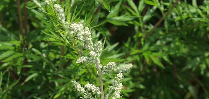 What Is Mugwort And Does It Live Up To The Hype?