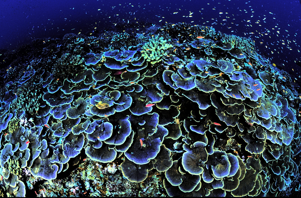 Sworls of Montipora aequituberculata, a core coral, attract fish at Jarvis Island National Wildlife Refuge in the Pacific, about 1,300 miles southwest of Honolulu.