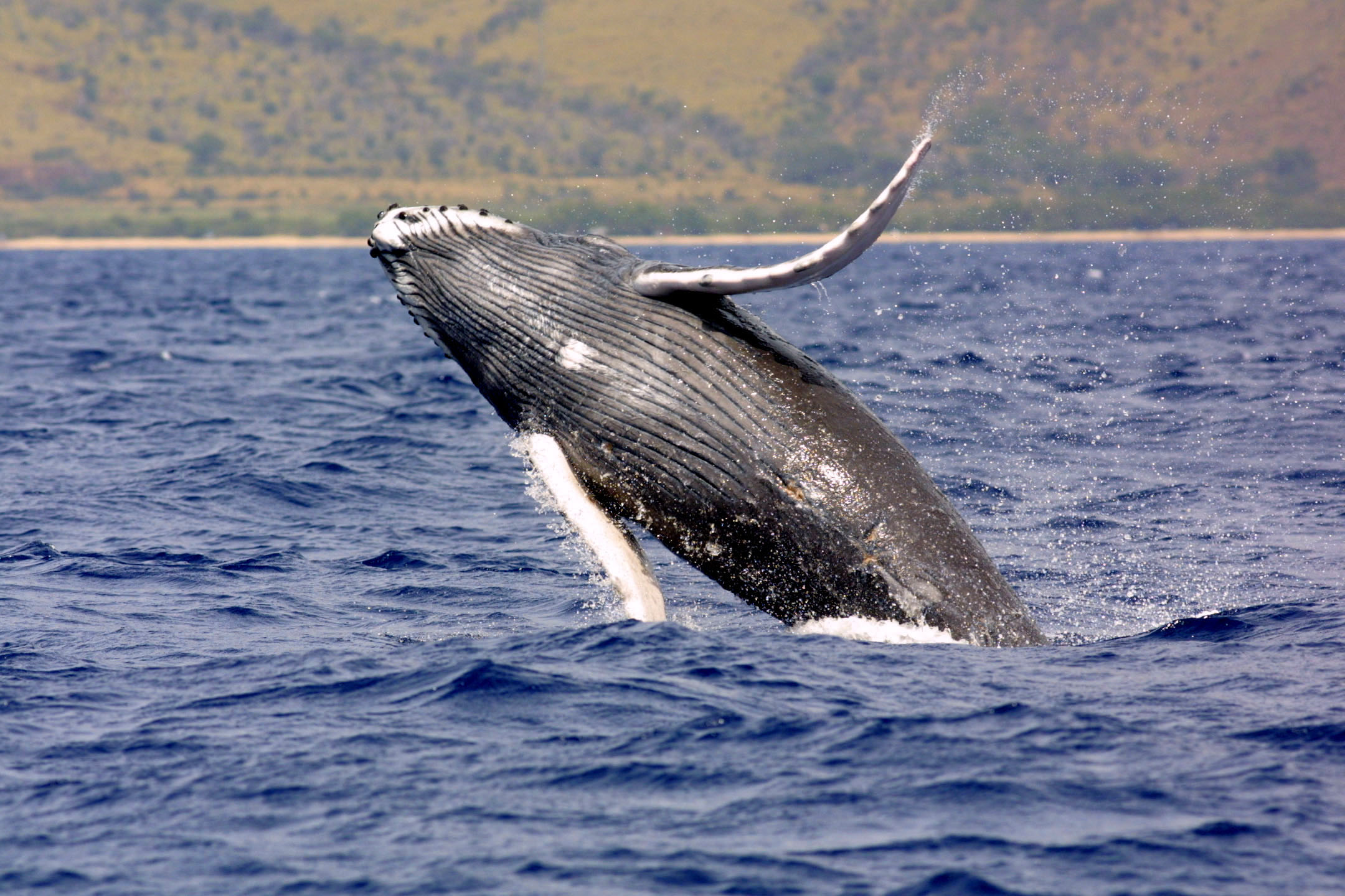 NOAA Wants Humpback Whales Off Endangered Species List