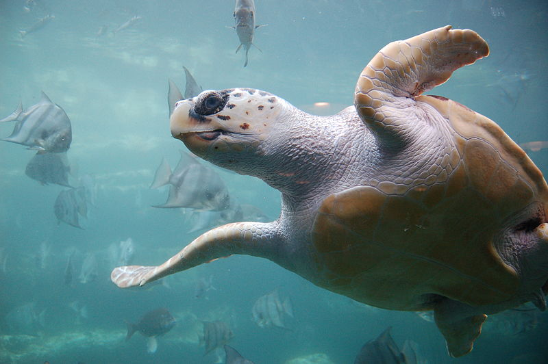 Extra Protections Proposed for Loggerhead Sea Turtles