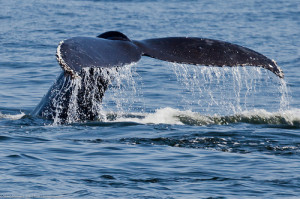 Navy War Games in the Pacific Violate Law Protecting Marine Mammals