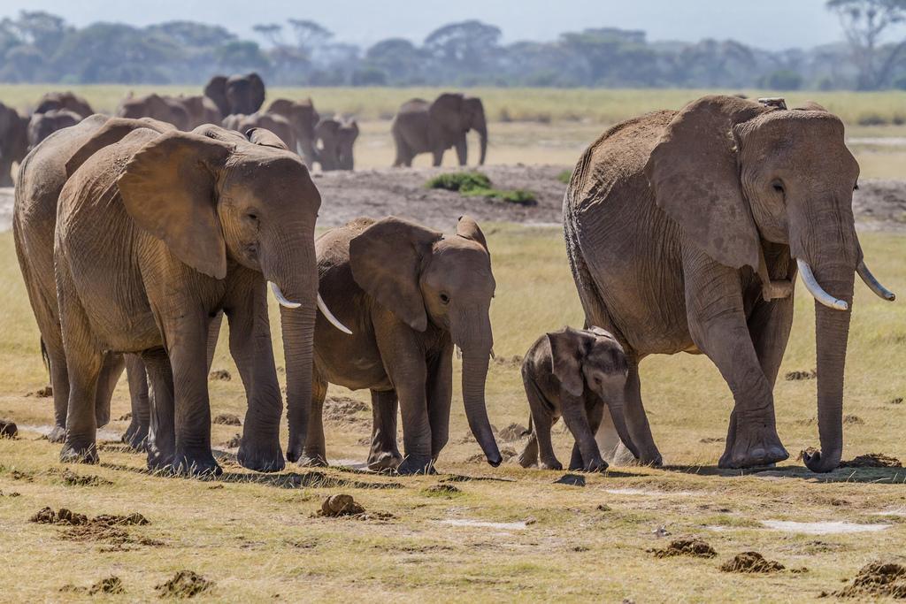 Will Hawaii Help Protect, Or Kill, Elephants And Rhinos?