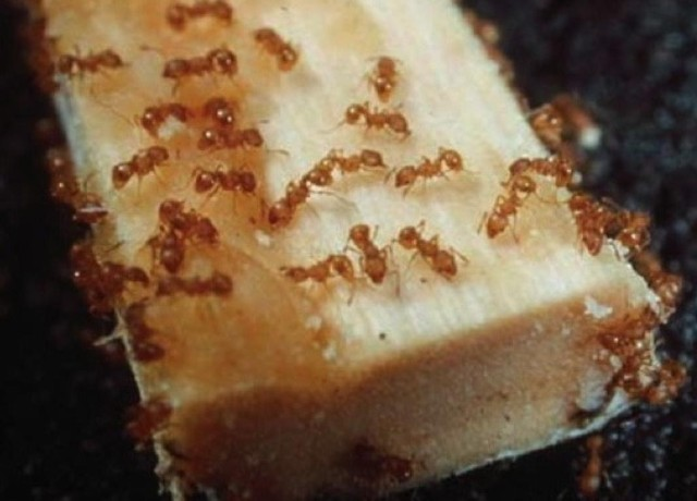 Jason Armstrong: Little Fire Ants Are On The March In Hawaii