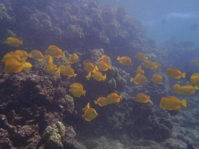 Yellow tang swimming