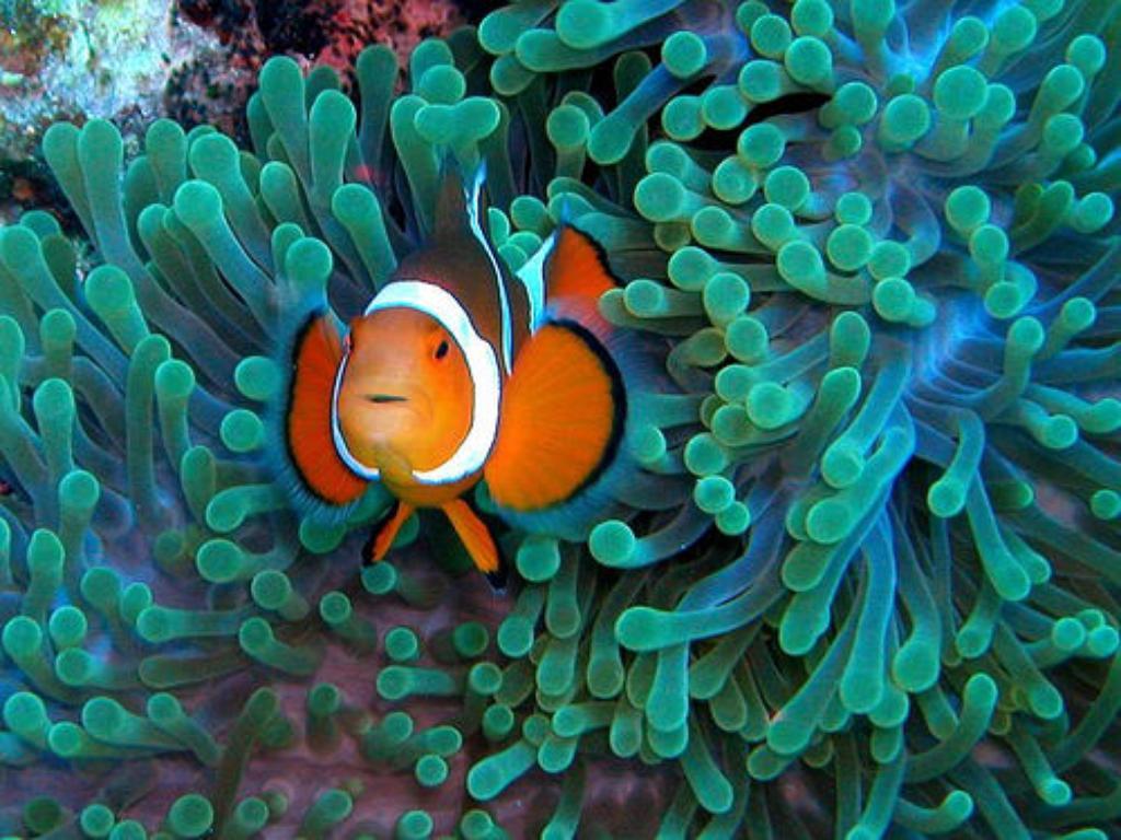 Saving Nemo: Protections Sought for Clownfish, Hawaiian Damselfish