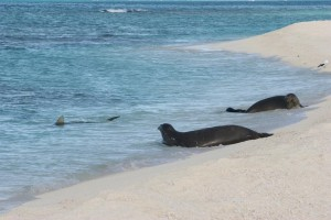 NOAA Program: Kill The Sharks To Save The Baby Monk Seals