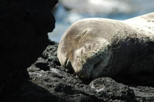 Kauai Newspaper Offers $10k Reward for Info About Monk Seal Killing