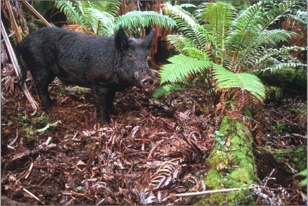 Is Getting Rid of Feral Pigs Enough to Protect Native Plant Species?