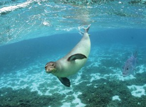 Critical Habitat for Hawaiian Monk Seals Expands by 7,000 Square Miles