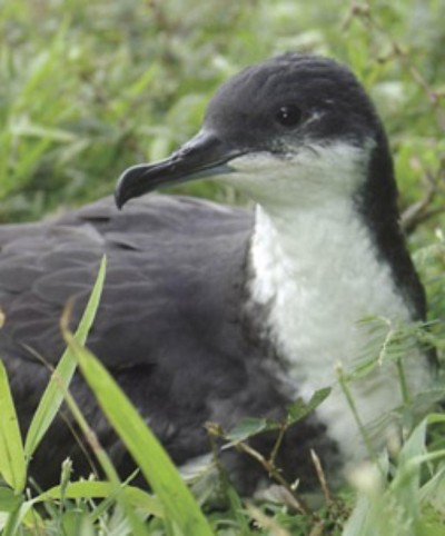 Kauai Powerlines Are Killing 1,800 Seabirds A Year