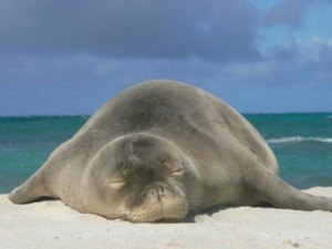 Authorities Investigate Death Of Young Monk Seal On Molokai