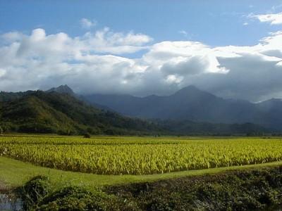 Taro Shortage Expected After Rains Swamp Kauai Farms