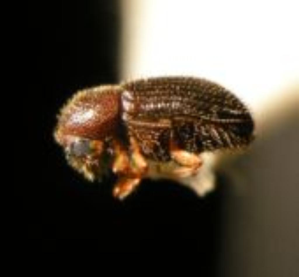Avoiding a Bitter Brew: Trying to Save Kona's Beans From Coffee Berry Borers