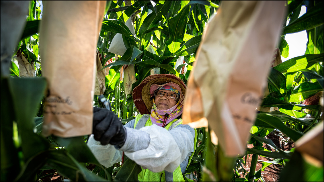 EMBARGOED FOR MOLOKAI 7.14.14 LEAD CROP PHOTO Monsanto Molokai field worker pollinates corn on July 3, 2014.