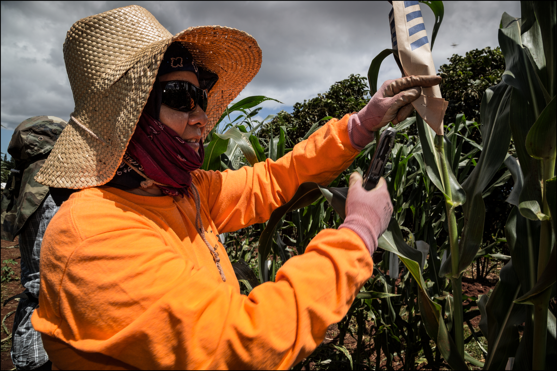 THE PROJECTOR 7.20.14 Molokai Mycogen field workers pollinate corn on July 2, 2014.