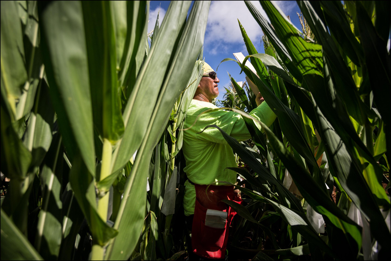 Monsanto Molokai field worker