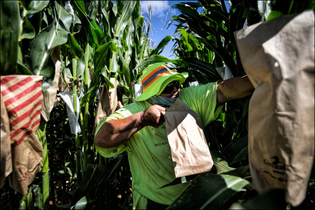 EMBARGOED FOR MOLOKAI 7.14.14 Monsanto Molokai field worker pollinates corn on July 3, 2014.